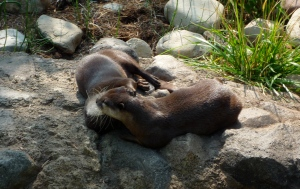 Otters networking at the Smithsonian Zoo in Washington, DC